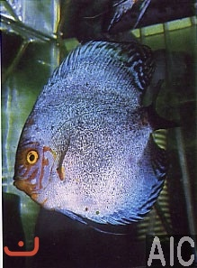 Discus White dragon