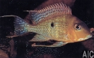 Geophagus sp
