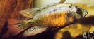 Haplochromis red fire