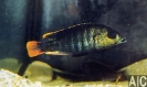Ptychromis sp red tailer (M)