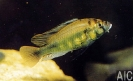 Ptychromis sp yellow belly