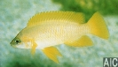 Neolamprologus mustax (M)